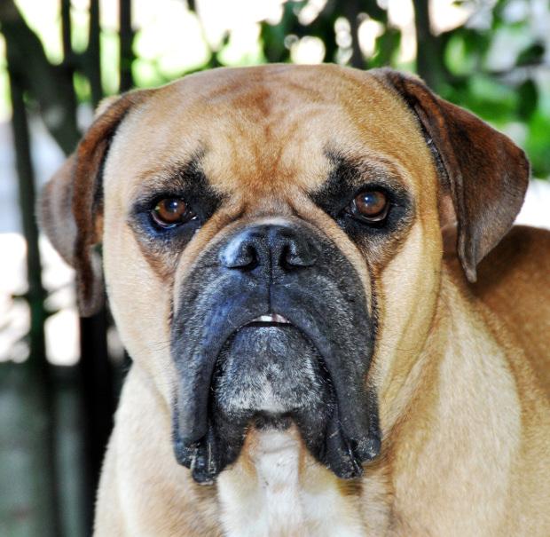 Bulldog breeds: Buldogue Campeiro