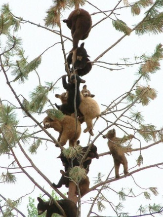 So many bears up a tree