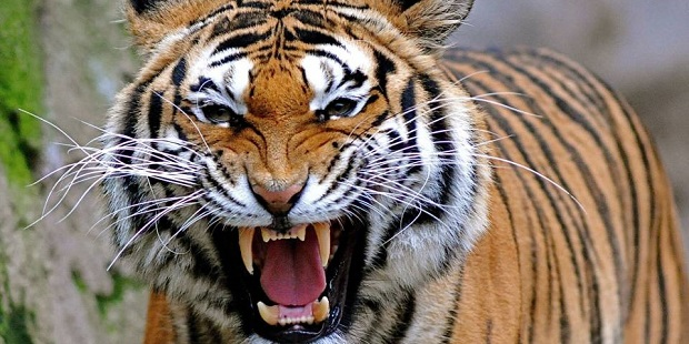 Tiger baring teeth