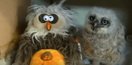 Orphaned Baby Owl Dances and Sings