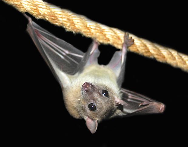 Peek-a-boo, the rescue fruit  bat at Bat World rescue. Photo credit Amanda Lollar