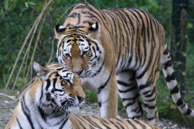 Tigers: Pair of tigers, one standing one laying down.