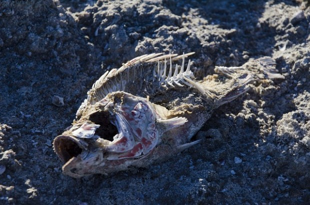 Photo of fish bones on dried ground at Salton Sea