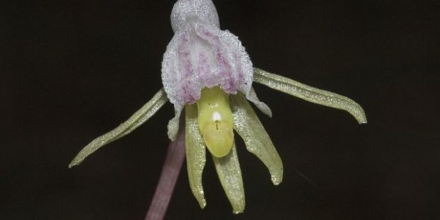 Photo of Ghost Orchid