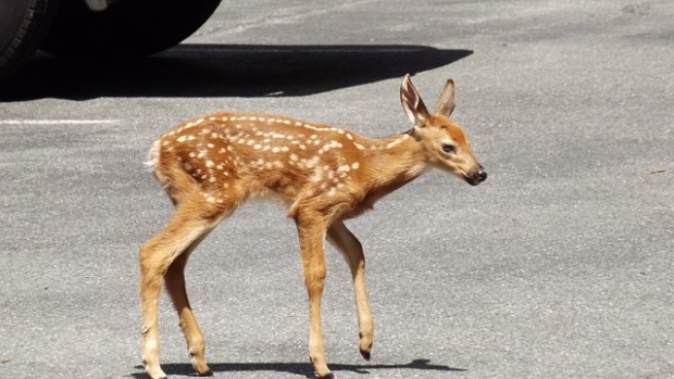 Photo of whitetail fawn in the city