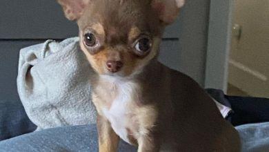 Photo of Teacup Chihuahua Breed Guide: 4 Reasons Not To Own This Dog