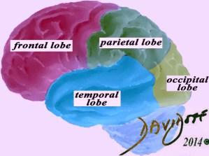brain-parts-frontal-lobe-parietal-lobe-occipital-lobe-temporal-lobe-art-anatomy-Davidoff