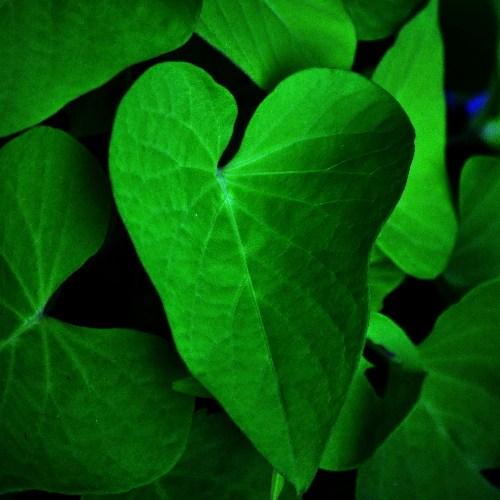 heart shaped leaf of sweet potato vine art in anatomy