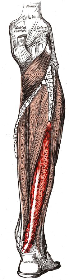 Flexor hallucis longus | Photo credit: Gray's Anatomy (public domain)