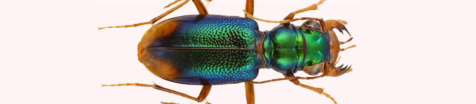 Beetles.