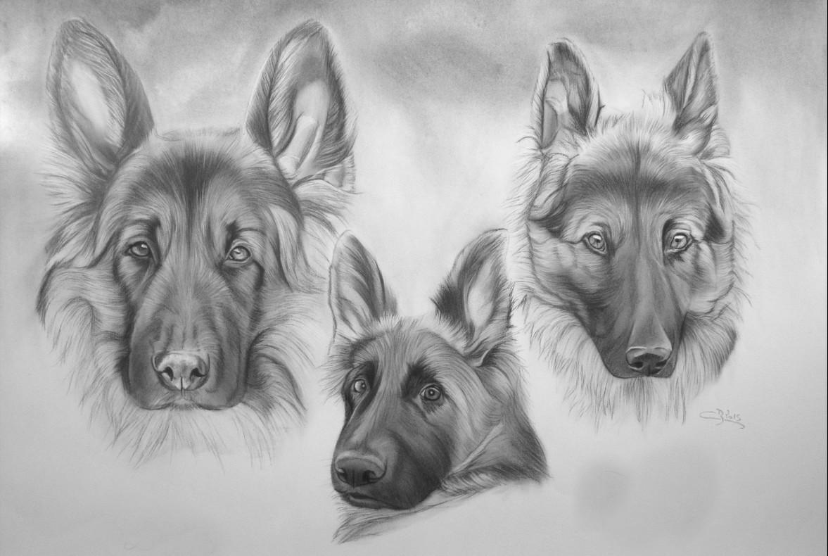 Dessin de bergers allemands - Dessin tete de chien ...
