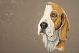 dessiner beagle