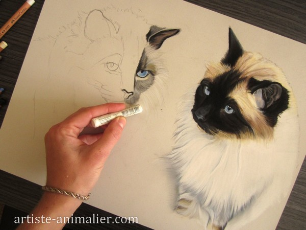 dessiner chats birmans