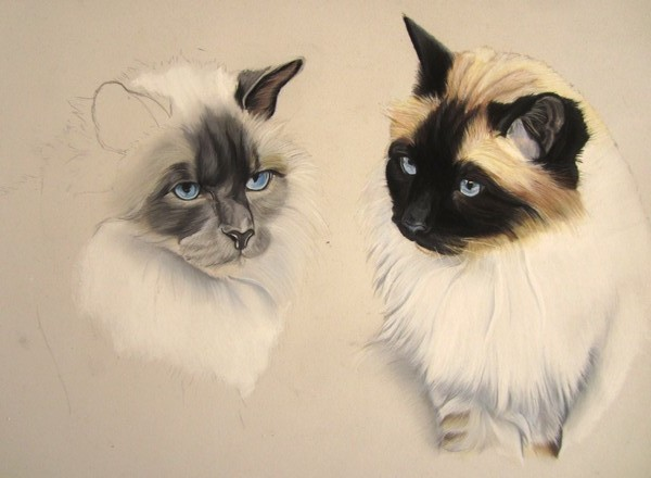 chats birmans pastels secs