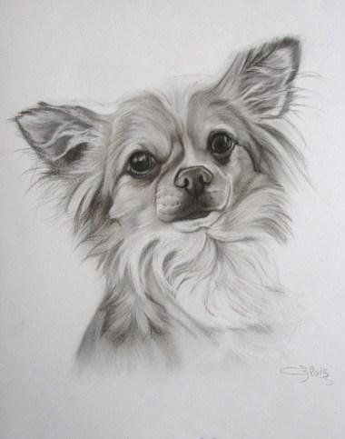 dessin chihuahua fusain