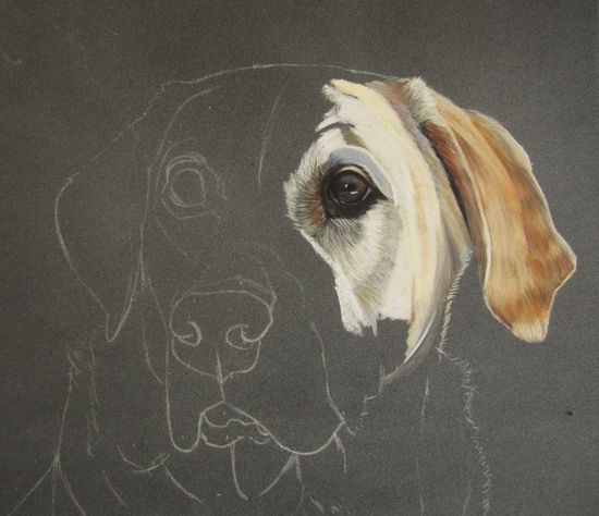 dessiner labrador