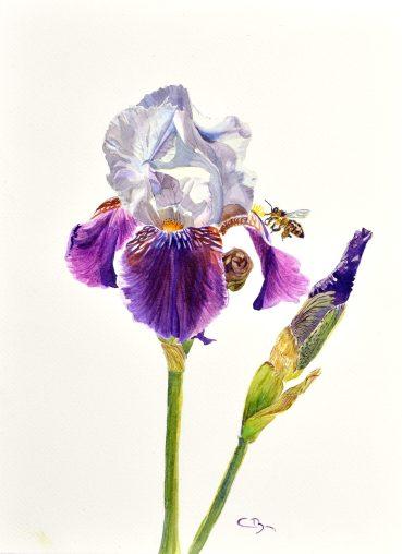 aquarelle iris