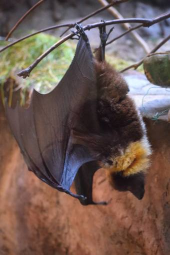 Cute Hanging Bat at Ueno Zoo