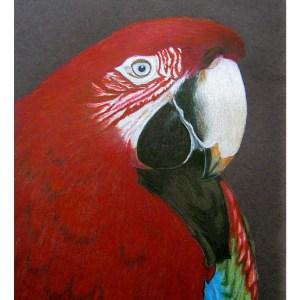 Macaw 9″x 12″