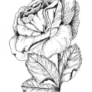 Black Rose 5″x 7″