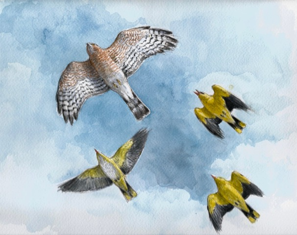 Sparrow Hawk chased by Golden Orioles, by Paschalis Dougalis, Greece