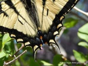 Papillon 13