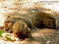 Coatis à Cataratas del Iguazú