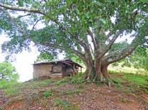 Banian, arbre sacré