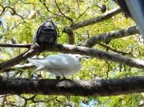 Pigeon biset blanc