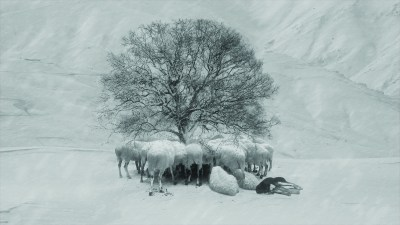 A grayscale photo of a dozen large, white mammals gathered under a bare tree in the snow.