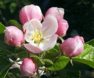 Success, Apple blossom, inspiration