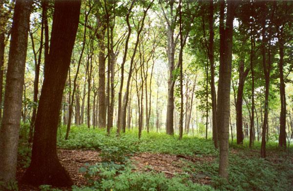 Figure 24 Morton Arboretum Woodland in Lisle, Illinois