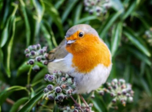 oiseaux du jardin rouge gorge