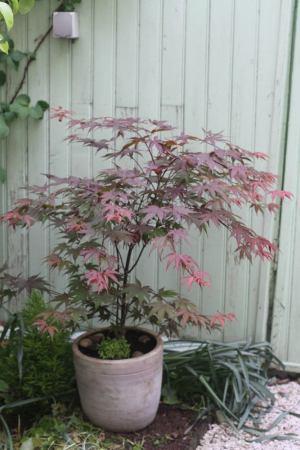 érable du japon plante en pot