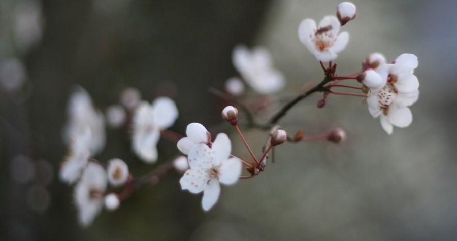 cerisier jardin de Paris
