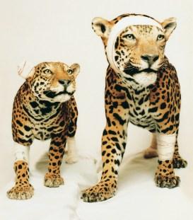 jaguars-copie