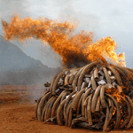 Banning All Ivory Completely Is Not Going To Save The Elephants, But It Could Lead Us To Destroy Important Pieces Of History