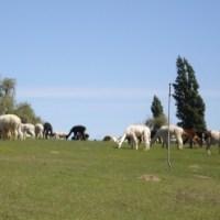 Llamas And Peruvian New Yorkers