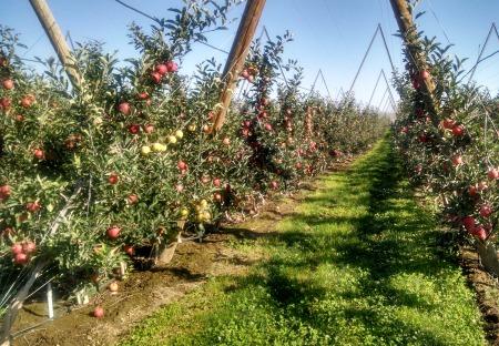 Apples 2014 1