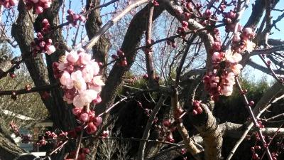Apricot Tree # 2, 31315