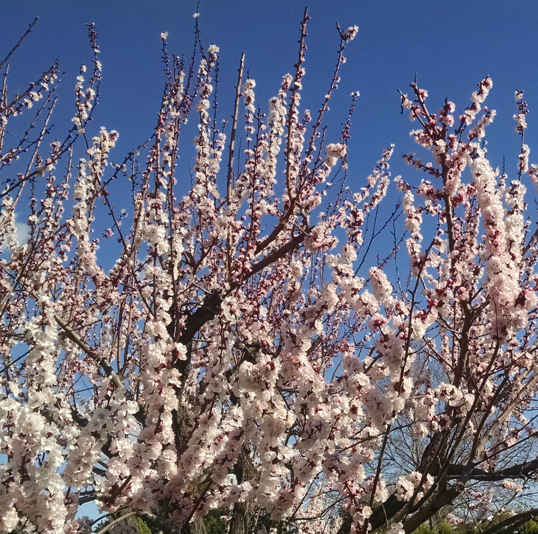 Apricot Blooms 2