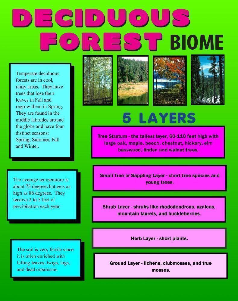 hight resolution of make a deciduous forest biome poster social studies project poster ideas