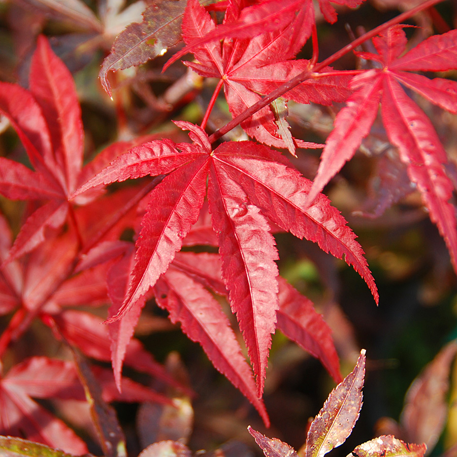 Acer Palmatum Emperor I Arts Nursery Ltd