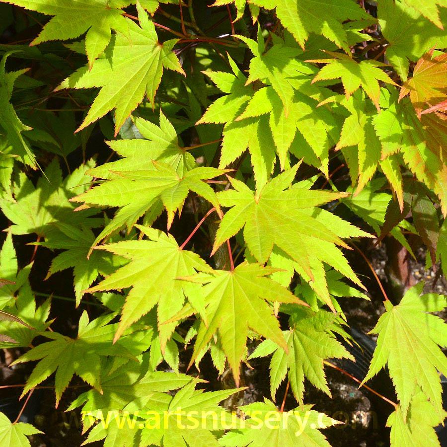 Acer shirasawanum Autumn Moon   Arts Nursery Ltd