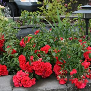 Rosa Flower Carpet Scarlet TF