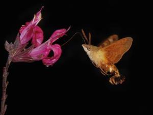 Hendrik Louw - African hummingbird moth