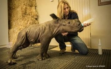 STROOP: Karen Trendler feeds 4 day old rhino calf. South Africa (© Susan Scott)