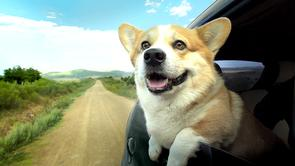 Corgi Dog from Geely Ad based on Dogs In Cars