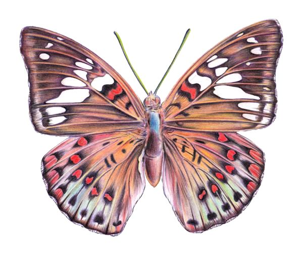How To Draw A Butterfly With Color Pencils