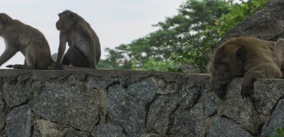 The Monkeys of Khao Takiab-Hua Hin